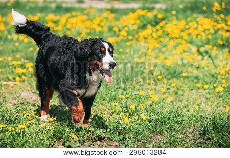 Farm Dog Bernese Mountain Dog Berner Sennenhund Play Outdoor In Green Spring Meadow With Yellow Flow