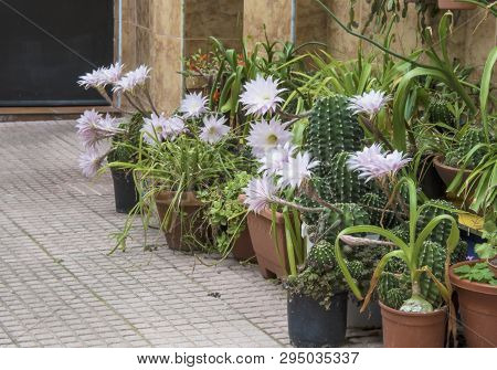 Flowers Of Easter Lily Cactus Out Of Doors