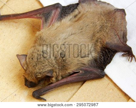 Cute Bat Pipistrellus Kuhlii  Warms Up After A 4-month Wintering In The Fridge. Love Animals Concept