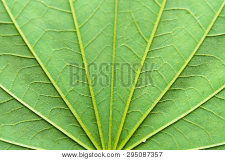 Close Up Detailed View Of Green Maple Leaf Background With Abstract Vain Texture Lines Form Natural