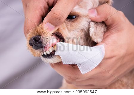 Vet Cleaning Pet Dog Teeth Coated With Plaque With Swab