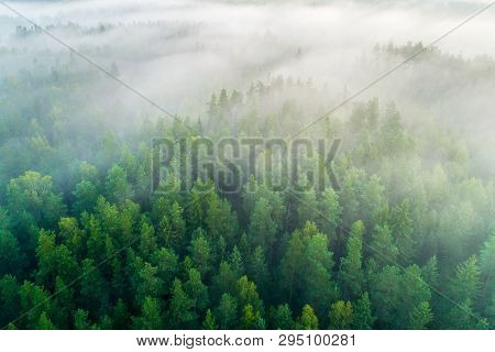 Summer  Forest. Green Forest. Forest View From Above. Fir-trees With Mist. Forest Background. Summer