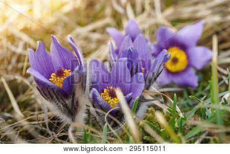 Macro Closeup - Sepals Clearly Visible - Violet Purple Pasque Flower Pulsatilla Grandis , On Dry Gra