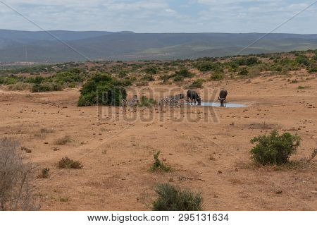 Herd of wild zebras and two buffaloes on waterhole with vast African wilderness landscape on the background poster