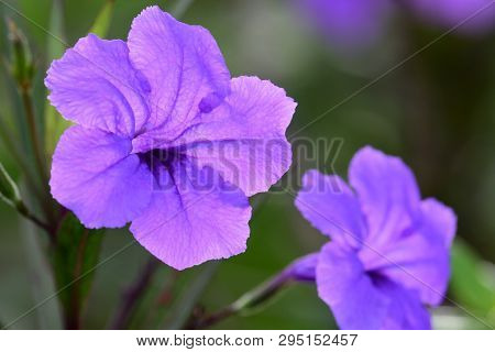 Close Up Of Mexican Petunias (ruellia Simplex) In Bloom
