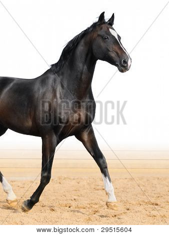 Black Oldenburge stallion trot on arena