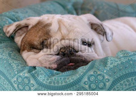 One Eyed English Bulldog Sleeping In His Bed