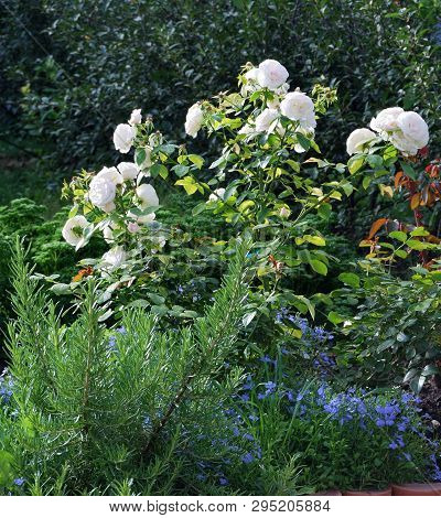 "Shrub Roses ""bonik-82"" In The Garden, Omsk Region Russia"