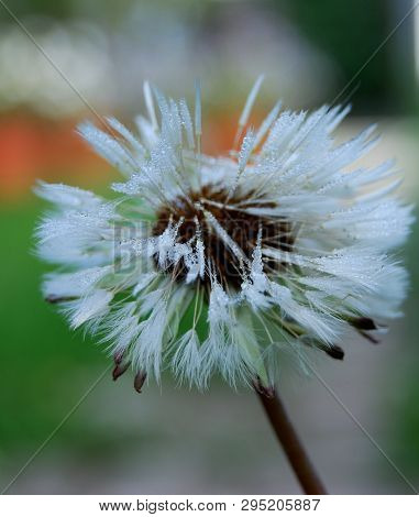 Dandelion In The Garden, Omsk Region, Russia
