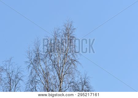 Birch Crones Against The Blue Sky In A Springtime
