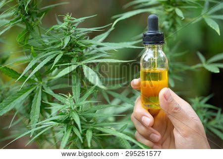 Hemp Oil, Hand Holding Bottle Of Cannabis Oil Against Marijuana Plant, Cbd Oil Pipette.   Alternativ