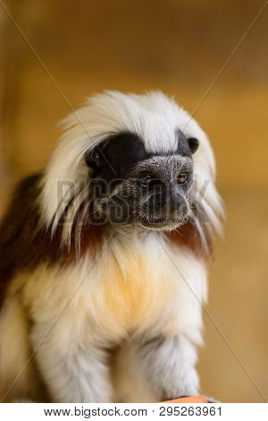 Portrait Of A Cotton Top Tamarin (saguinus Oedipus)