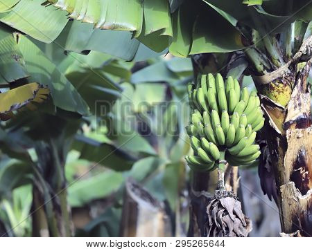A Bunch Of Green Bananas On A Tree In The Garden. Cropped Shot, Horizontal, Place For Text. Agricult