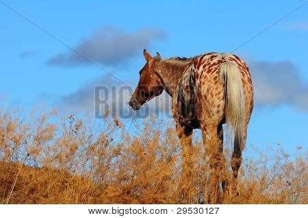 Appaloosa horse at dusk on ranch in Canada