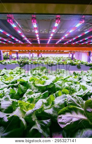 Aquaponics system combines fish aquaculture with hydroponics, cultivating lettuce plants in water under artificial lighting poster