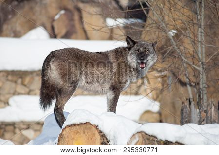 Cute Black Canadian Wolf Is Looking At The Camera. Canis Lupus Pambasileus.