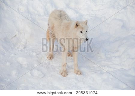 Wild Alaskan Tundra Wolf Is Standing On A White Snow. Canis Lupus Arctos. Polar Wolf Or White Wolf.
