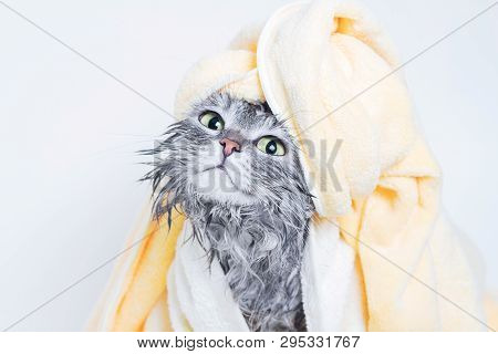 Funny Smiling Wet Gray Tabby Cute Kitten After Bath Wrapped In Yellow Towel With Big Green Eyes. Pet