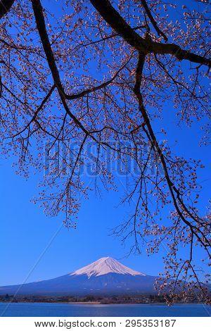 Cherry Tree And Mt.fuji Of Nagasaki Park In Lake Kawaguchi Japan 04/13/2019