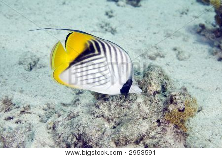 threadfin butterflyfish (chaetodon