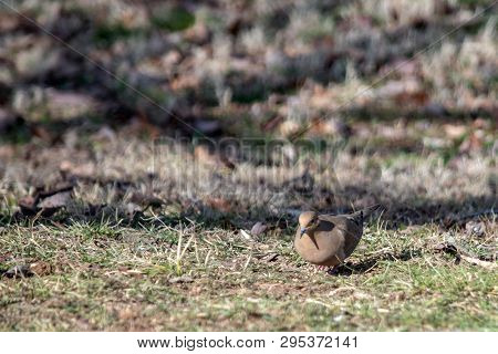 A Morning Dove Scavanges On The Ground Searching For Seeds To Eat. Bokeh Background.