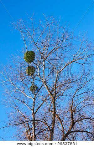 Mistletoe Plant On A Birch Tree
