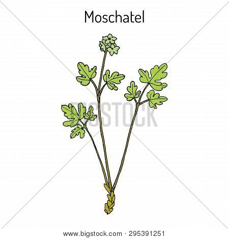Moschatel, Five-faced Bishop, Hollowroot, Muskroot, Townhall Clock, Tuberous, Crowfoot Adoxa Moschat