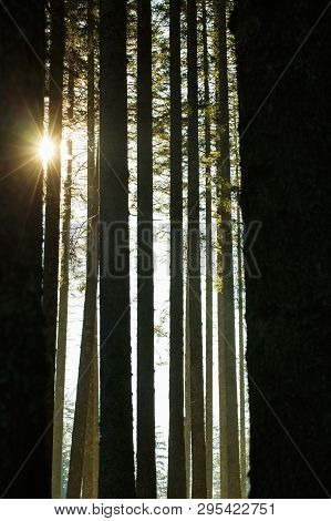 Forest Of Spruce Trees And Trunks In The Morning Sunshine. Sustainable Industry, Eco-friendly Forest