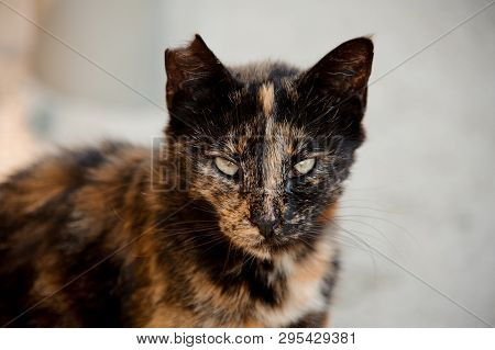 Cat With Its Ear Being Partially Bitten Off