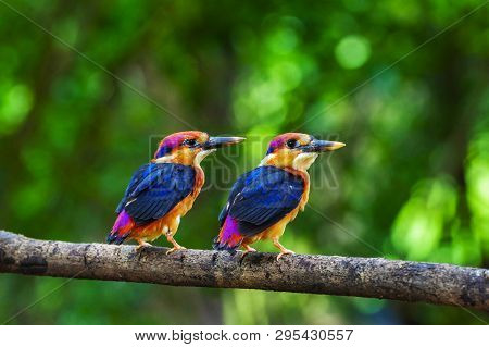 Two Young Oriental Dwarf Kingfisher, Chiplun From Maharashtra, India