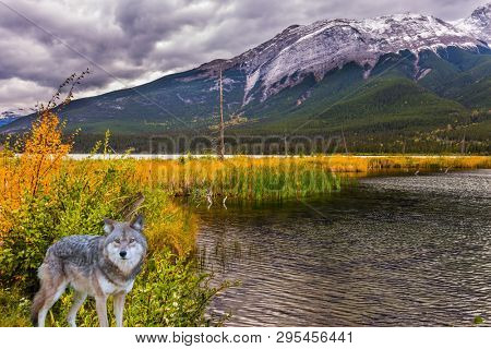 Gorgeous gray wolf stands on the edge of the forest. Rocky Mountains of Canada. The valley along the Pocahontas road. Concept of ecological, active and photo-tourism