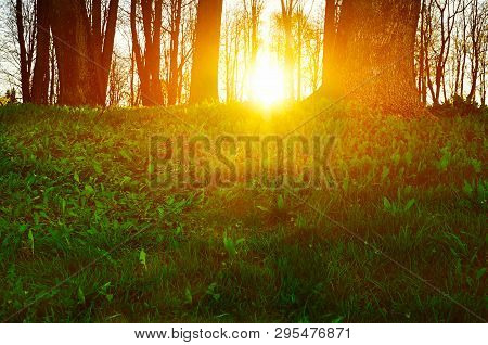 Forest landscape - forest trees with grass on the foreground and sunset light breaking through the forest trees. Colorful forest landscape scene, sunset in the spring forest