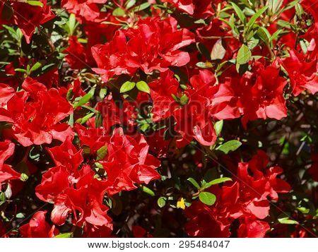 Red Encore Azaleas In Bloom In A Texas Community