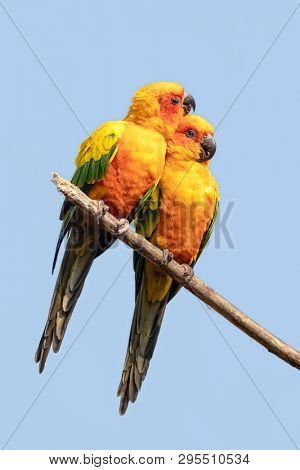 Pair of Sun Conures, Aratinga solstitialis, on a branch against blue sky background. This South American parakeet is an endangered species.