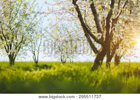Impressive ornamental garden with blooming lush trees in sunny day. Fresh seasonal background. Flowering orchard in spring time. Scenic image of trees in charming garden. Beauty of earth, Ukraine.