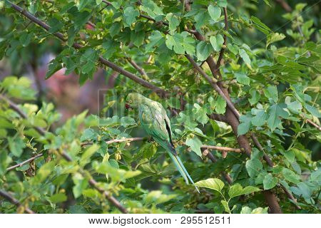 Green Parrot Looking For Fruits On Top Of Tree Branch