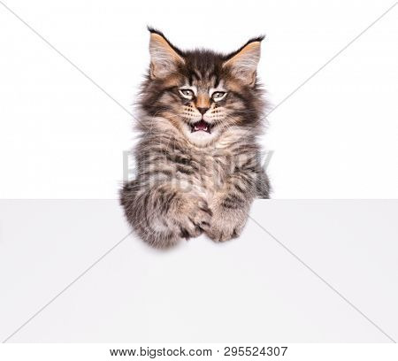 Maine Coon kitten holding sign or banner. Funny pet cat showing placard with space for text. Beautiful domestic kitty with blank board, isolated on white background.