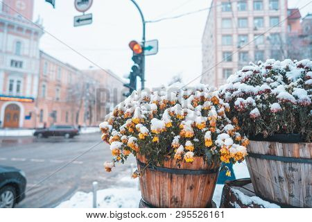 Snow On The Flowers In The Pot, Flower Pots On The Streets