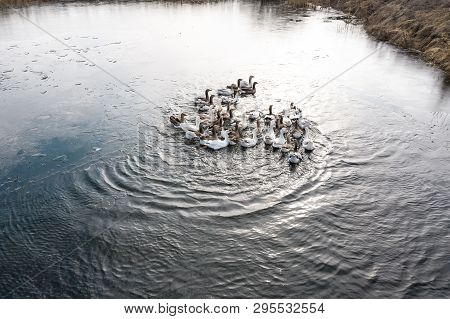 Geese In Water, Swim On The River, Sunny Day