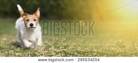 Spring, Summer Concept - Cute Happy Jack Russell Pet Dog Puppy Playing In The Grass, Web Banner With