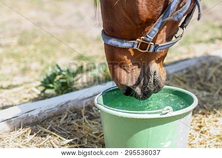 Beautiful brown thoroughbred horse drinking water from bucket. Thirst during hot summer day. Thirsty animal at farm poster