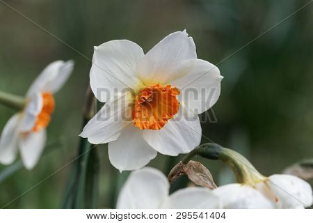Blossom Of The Small Cupped Narcissus Barret Browning