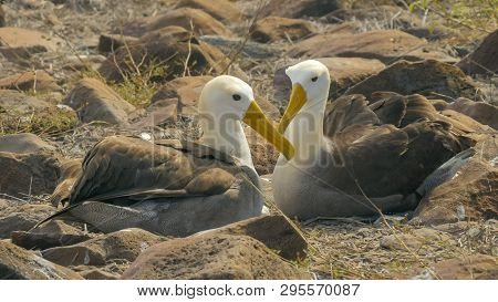 waved albatross in affectionate pose with beaks crossed in the galapagos poster