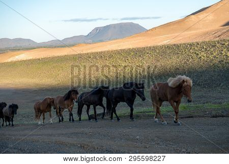 Icelandic horse in the field of scenic nature landscape of Iceland. The Icelandic horse is a breed of horse locally developed in Iceland as Icelandic law prevents horses from being imported. poster