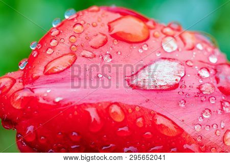 Drops Of Spring Rain On Red Tulips. Spring Garden With Tulips And Green Grass. Picture Of A Drops Of