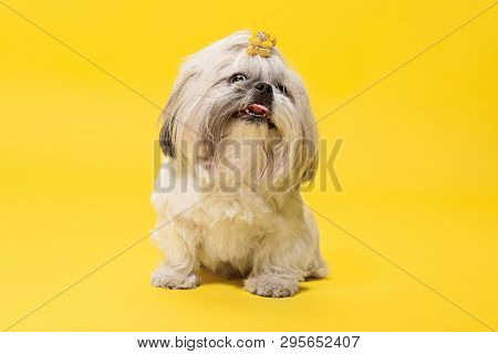 Shih-tzu Puppy Wearing Orange Bow. Cute Doggy Or Pet Is Lying Isolated On Yellow Background. The Chr