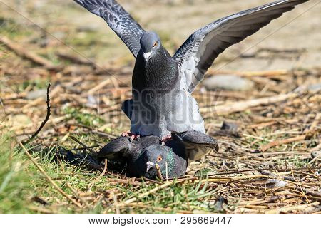 A pair of feral pigeons mating on the ground poster