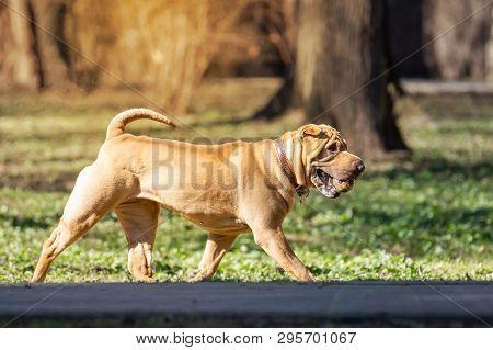 Shar Pei Puppy In Garden