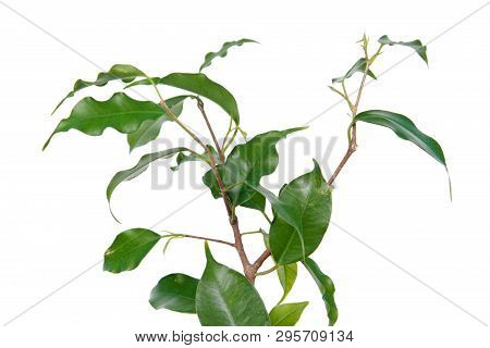 Branch Of Ficus Benjamina Or Weeping Fig (cultivar Monique) With Green Leaves Isolated On White Back