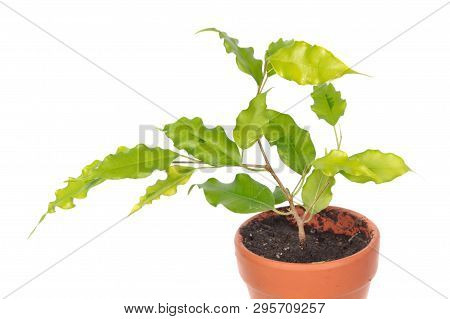 Ficus Benjamina Or Weeping Fig (cultivar Golden Monique) In Flowerpot Isolated On White Background